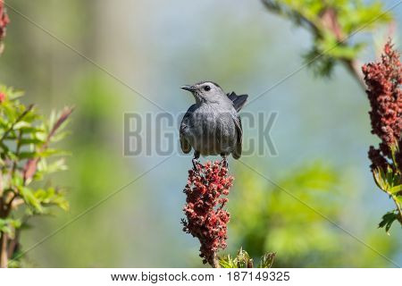 A Gray Catbird perched on and eating from a Sumac Tree.