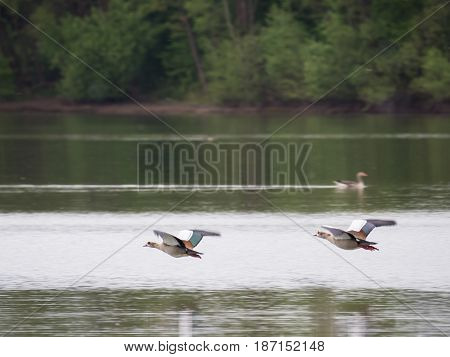 two egyptian goose flying over a lake on a cloudy day
