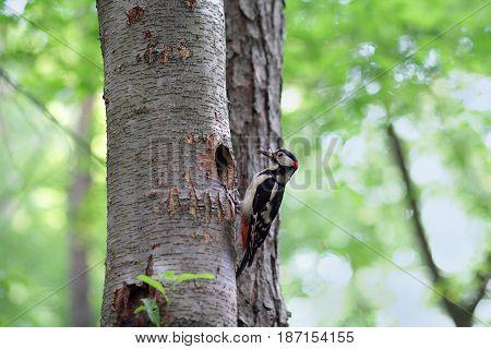 Woodpecker on a tree near his nest. Birds