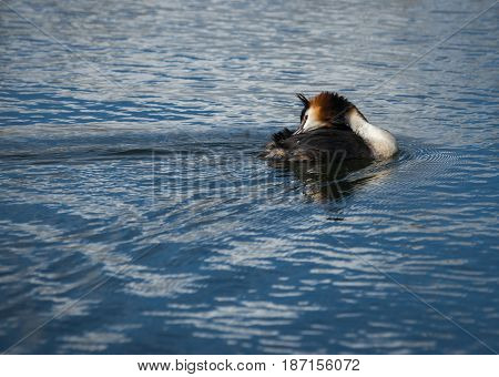 Great Crested Grebe On Lake Prespa, Greece