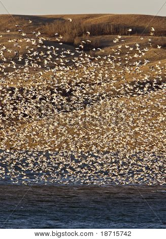 Snow Geese on Buffalo Pound Lake in flight Saskatchewan