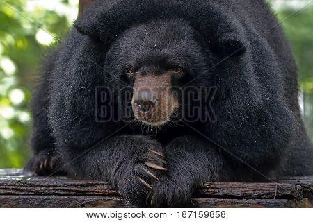 Asian Black Bear Ursus Thibetanus Close Up Head
