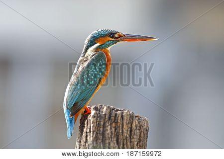 Common Kingfisher Alcedo Atthis Female Cute Birds Of Thailand
