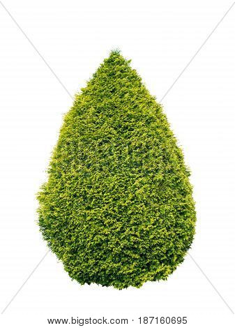 Lush green and yellow thuja conical shrub isolated on white