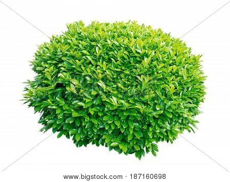 Green laurel decorative globe form shrub isolated on white