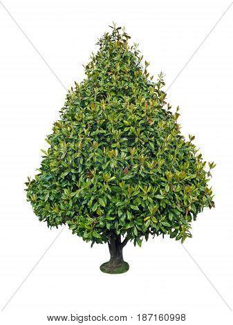 Magnolia decorative conic shape tree isolated on white