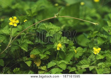 nature background Indian strawberry mock strawberry flowering tendrils in the background in blur grasshopper sitting on a leaf