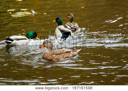 Ducks and drakes swim in the lake