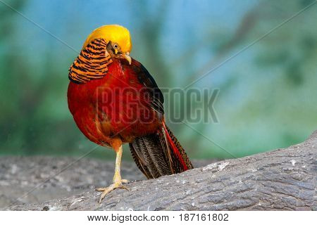Golden Pheasant On A Close-up Branch
