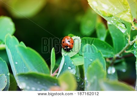 Close-up ladybug on a green leaf in the grass . Water drops. Ladybug on wild flower in spring. Ladybug close-up