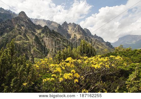 Caucasian beauty in the mountains where tsyet yellow flowers on the background of sharp rocks