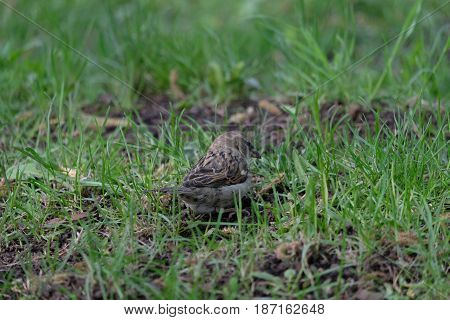 A small sparrow is pondering - Novodevichy Convent park - Moscow, Russia