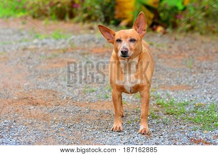 The Russian Toy Terrier dog look with purpose and Unwavering with copy space