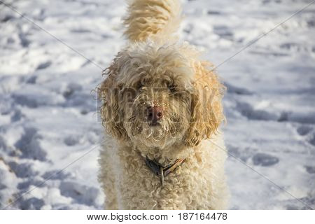 Labradoodle playing outdoor in backyard in snow