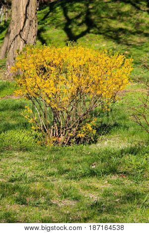 Yellow forsythia bush in a city park