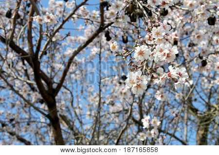 Almond blossoms, lots of white flowers, sign of spring and purity.