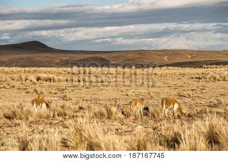 Cheerful Adorable Vicugnas In Reserva Nacional Pampa Galeras, Peru