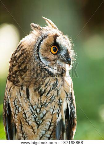 Portrait of Long-eared owl - Asio otus otus