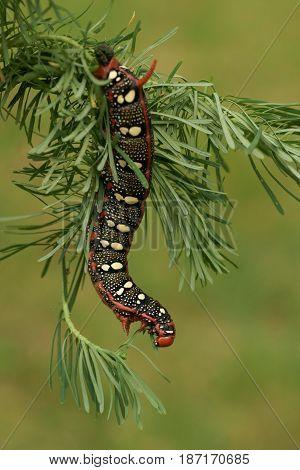 Caterpillar Spurge Hawk-moth (Hyles euphorbiae) in nature