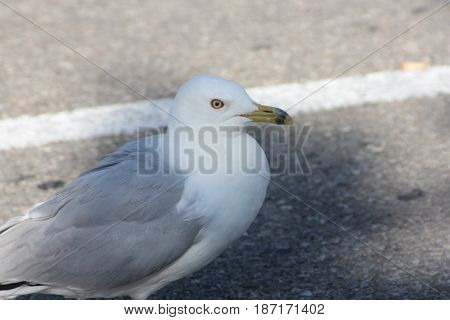 Ring-billed gull (Larus delawarensis) on a paved parking lot