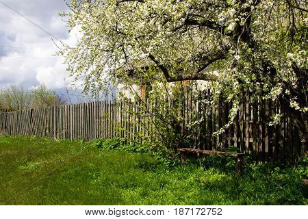 Old wooden bench underneath white blossoming tree