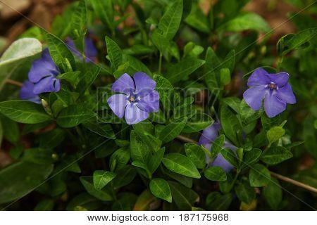 beautiful blue flower periwinkle. outdoor shot