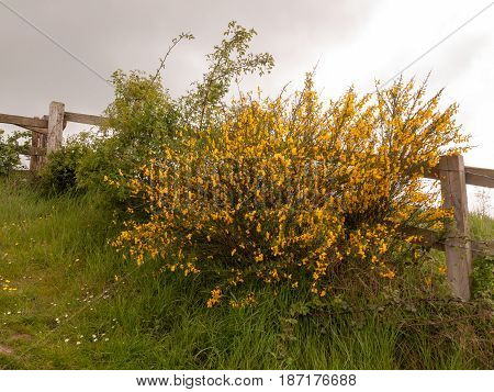 A Wooden Fence Outside With Lush Gorse Growing Yellow Buds On Green On Spring Cloudy Overcast Day