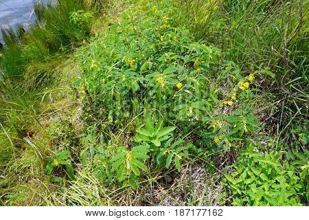 Partridge pea plants (Chamaecrista fasciculata) bloom next to a small lake in Joliet, Illinois during July.