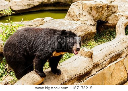 Black bear in the forest asia thailand