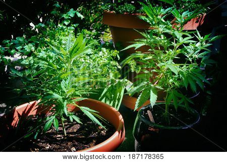 Two marijuana plants growing in containers in a patio garden