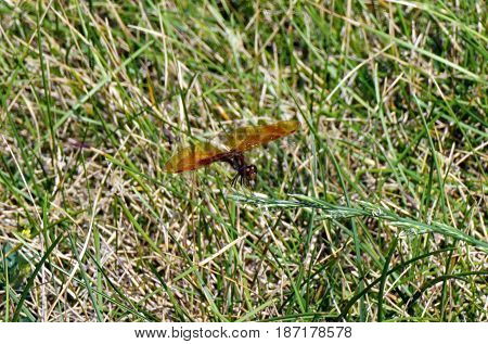 A male eastern amberwing dragonfly (Perithemis tenera) alights upon a blade of grass in Joliet, Illinois during August.