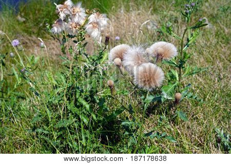 The seed heads of creeping thistle plants (Cirsium arvense), also called the Canada thistle, growing in Joliet, Illinois, during August.