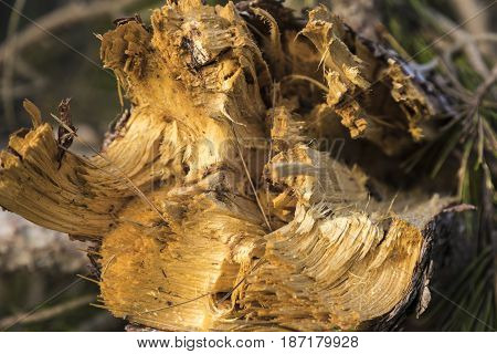 Detail of a maritime pine tree broken by a strong wind