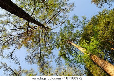 high trees in the forest spring sunny morning low angle view