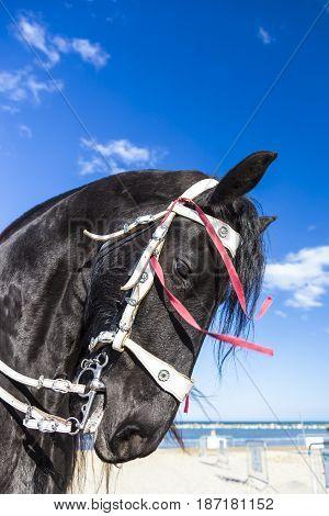 brown friesian horse head against blue sky near the sea