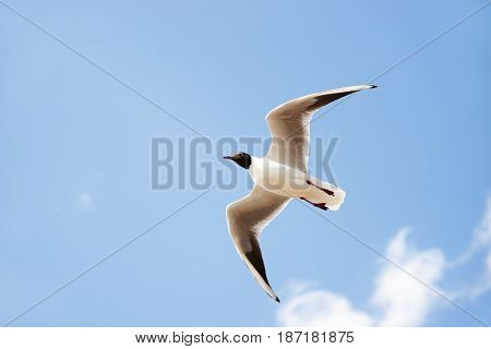 White Seabird With Black Head And Wing Tips Flying And Soaring Up In The Blue Air Filled With Clouds