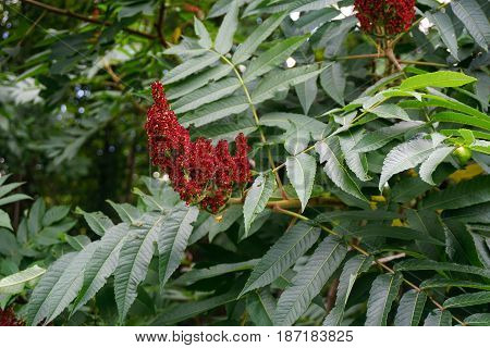 The fruit cluster of a staghorn sumac (Rhus typhina), growing in Spring Lake Park, between Harbor Springs and Petoskey, Michigan, during August.
