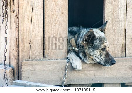 Guard Dog Sits In A Kennel Chain And Is Sad