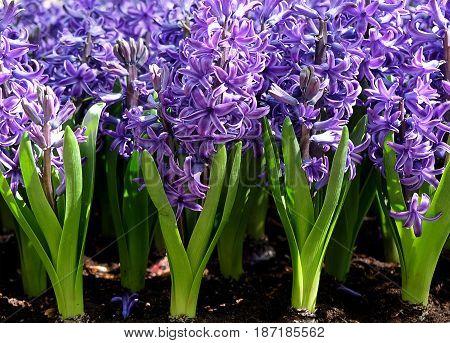Spring flowering Blue hyacinths close-up in the Royal Keukenhof Park