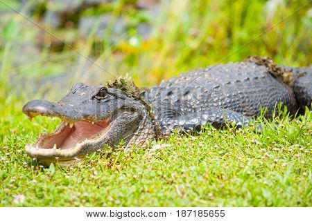 Wild aligator with swamp vegetation on its back after emerging from pond by Florida everglades focus on eye