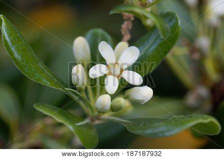 Flowers of a Japanese cheesewood tree (Pittosporum tobira)