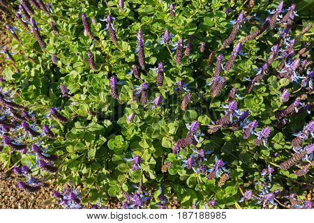 Dog's bane groundcover flower spikes in blue purple blossoming in the garden in Tasmania, Australia (Plectranthus Ornatus)