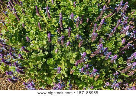 Dog's bane groundcover flower spikes in blue purple blossoming in the garden in Tasmania, Australia (Plectranthus Ornatus)