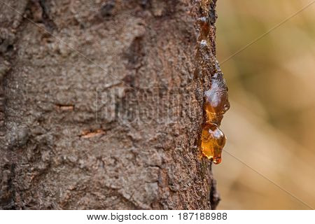 Dripping sap, natural gum tree resin on bark with blurred yellow background, Tasmania, Australia - Selective focus