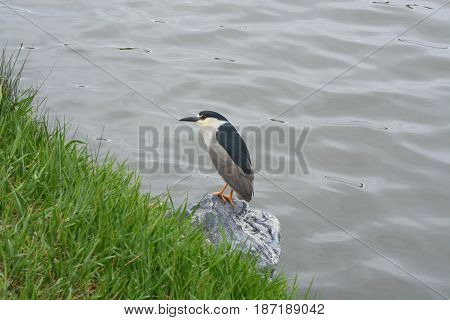 Black-crowned night heron (Nycticorax nycticorax) perched on rock at lake edge