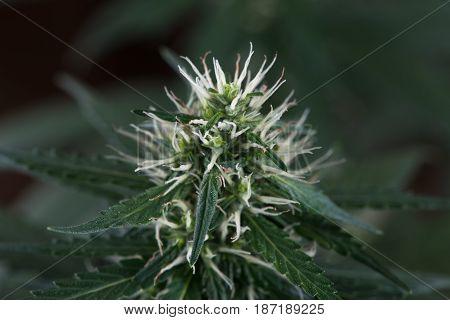 Female cannabis marijuana flower close up macro