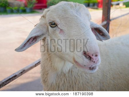 Close up white sheep in farm outdoor.