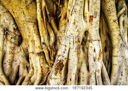 Trunk and air roots of a Banyan Tree carved with names and love messages from people visiting Waikiki beach
