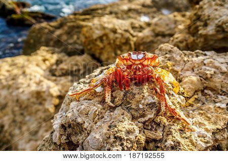 Dead Hermit Crab sitting on the rocks of the shoreline at the resort community of Ko Olina on the West Coast of the Hawaiian island of Oahu