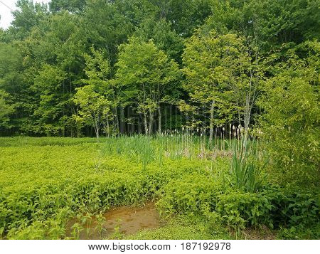 green plants and cat tails in swamp environment